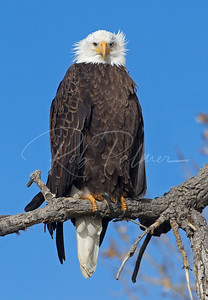 Bald Eagle on a cold windy day.
