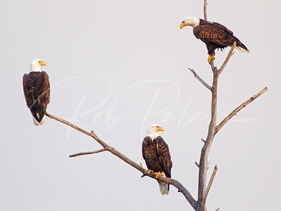 A Trio of Bald Eagles 5754