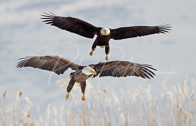 Two Bald Eagles landing