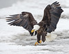 Bald Eagle landing on ice