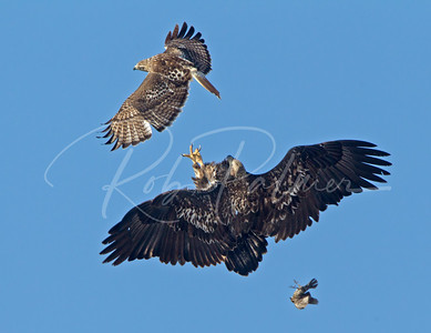 Redtailed Hawk letting go of a blackbird because the immature bald eagle wanted it!