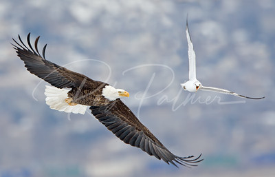 The Eagle and the Gull