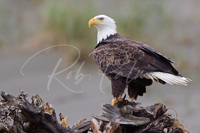 Bald Eagle on the Washington Coast 0897
