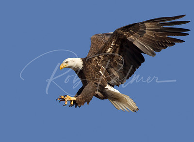 Adult Bald Eagle landing.