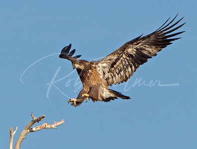 Immature Bald Eagle landing.