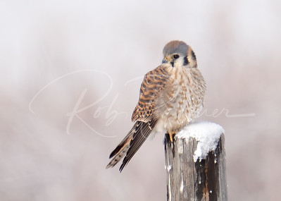 Kestrel in the snow