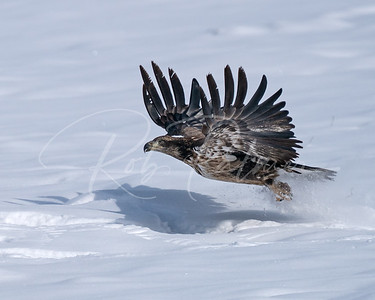 Young Bald Eagle in the snow