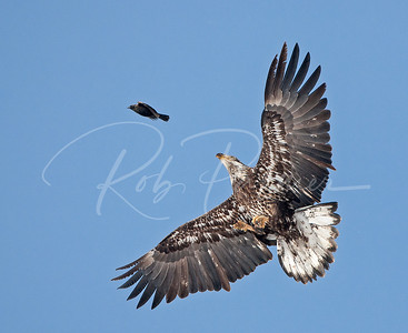 Immature bald eagle and blackbird