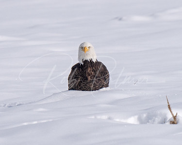 Adult Bald Eagle in the snow