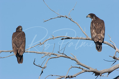 1st year Bald Eagles