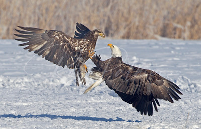 Immature (left) and adult Bald Eagles fighting over fish.