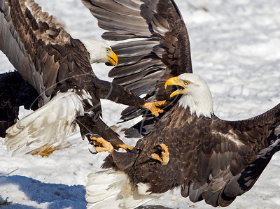 Two adult Bald Eagles fighting.