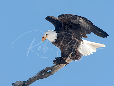 Adult Bald Eagle with Starling: 62711
