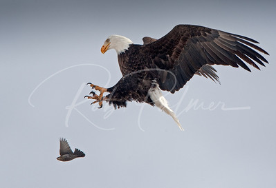 Bald Eagle and Blackbird 63197