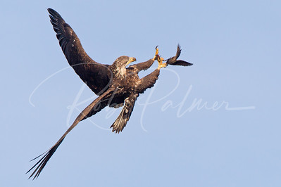 Immature Bald Eagle about to nab a blackbird.