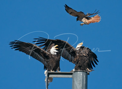 Bald Eagles vs redtai