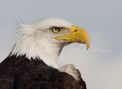 "Bald Eagle ""Bad Hair Day"""