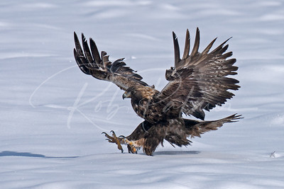 Golden Eagle landing in the snow