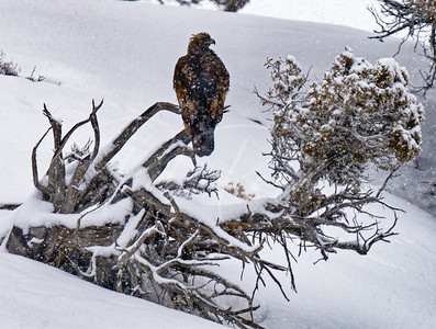 Golden eagle in a snowstorm