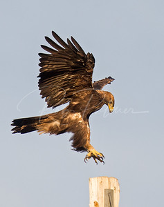 Golden Eagle landing on pole