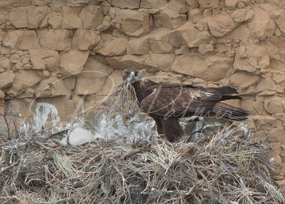 Golden Eagle bringing in sticks for the nest while a youngster watches
