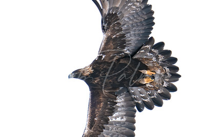 Golden Eagle detail