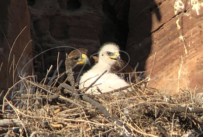 Intimate portrait of eaglet and parent bird