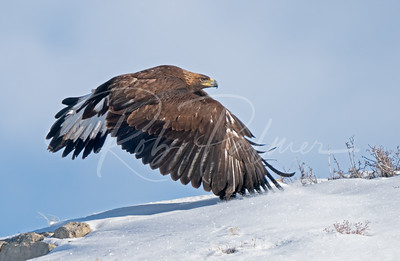 Young Golden Eagle