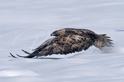 Golden Eagle skimming the surface