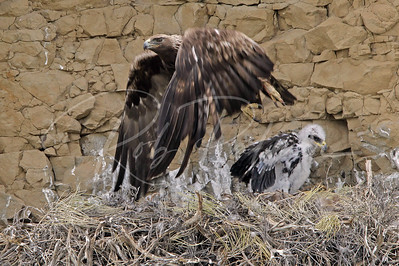 Golden Eagle leaving nest site after dropping off food for the youngster 2765