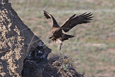 Golden Eagle with prairie dog