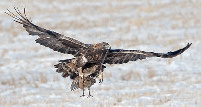 Golden Eagle with a Pheasant II