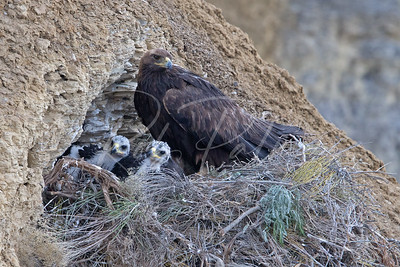 Golden Eagle and 2 kids