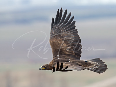 Trained Eagle in flight