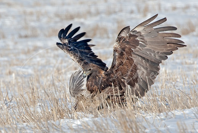 Golden Eagle with a Pheasant