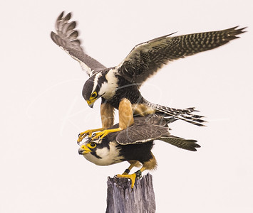 Aplomado Falcons mating