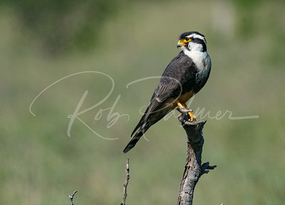 Male Aplomado Falcon