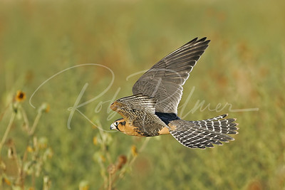 Aplomado Falcon in pursuit