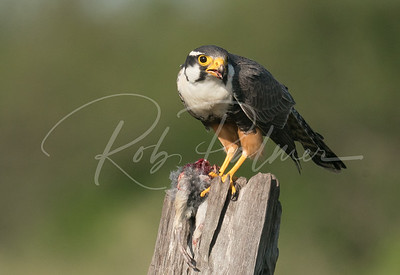 Aplomado Falcon eating prey