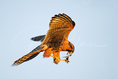 Aplomado Falcon with Grasshopper