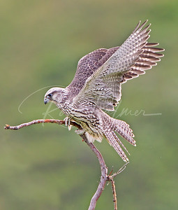 A young gyrfalcon trying to balance on its perch.