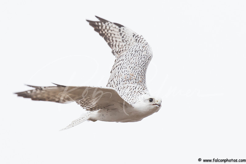 Gyrfalcon on the move