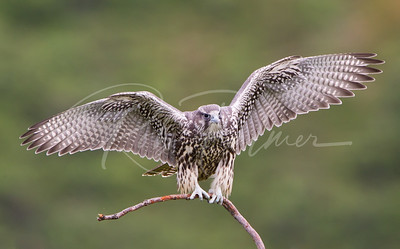 A young Grey Gyrfalcon on a very small perch considering this is a big female.