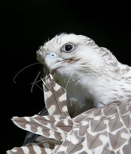 A young White Gyrfalcon Preening its feathers. (c)