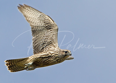Young Grey Gyrfalcon, Alaska