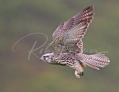 A young silver gyrfalcon in flight.