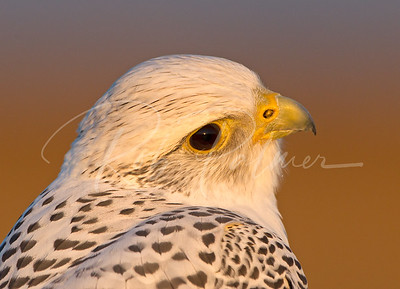 Adult White Gyrfalcon (c)