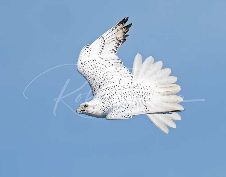 A white gyrfalcon in all its glory