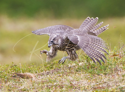 "A young gyrfalcon attacking an ""already dead"" ground squirrel."