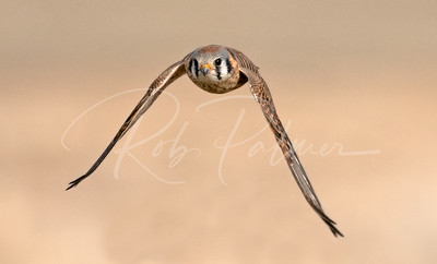 Female Kestrel incoming